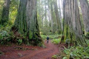 redwoods_big_6small_img