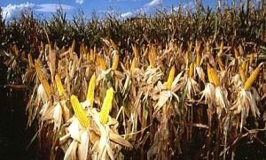 corn-gmo-1-600x363